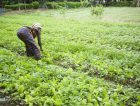 Africa farmer agriculture woman plants