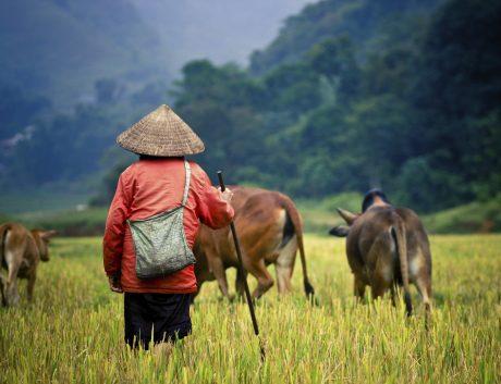 Vietnam Cambodia Buffalo Rice Field