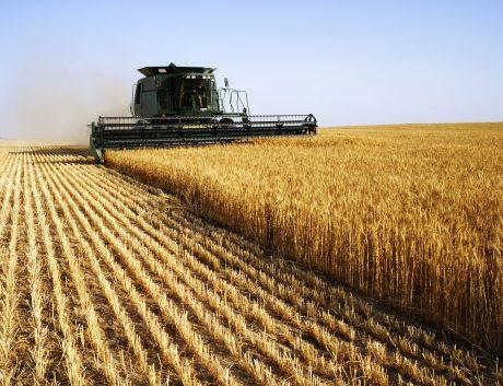 Golden Wheat Harvesting
