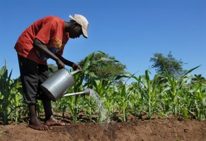 Africa Malawi farmer water agriculture corn