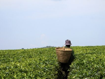 Africa farmer tea picking field plants
