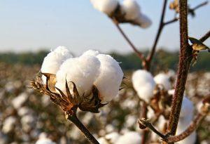 Cotton Farm Harvesting