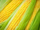 Fresh-Corn-Vegetable_News