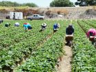 Harvest-Field-Straqberry-Central-California_News