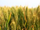 Wheat-Growing-Corn-Plant-China-East-Asia_News